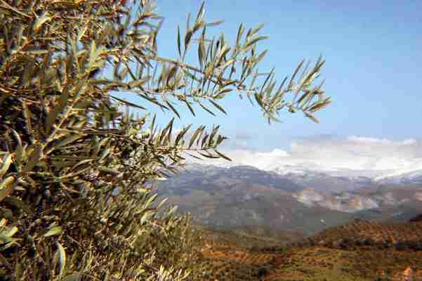 el secreto del olivo